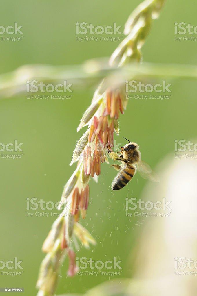 Bee working hard to gather pollen on corn tassel stock photo