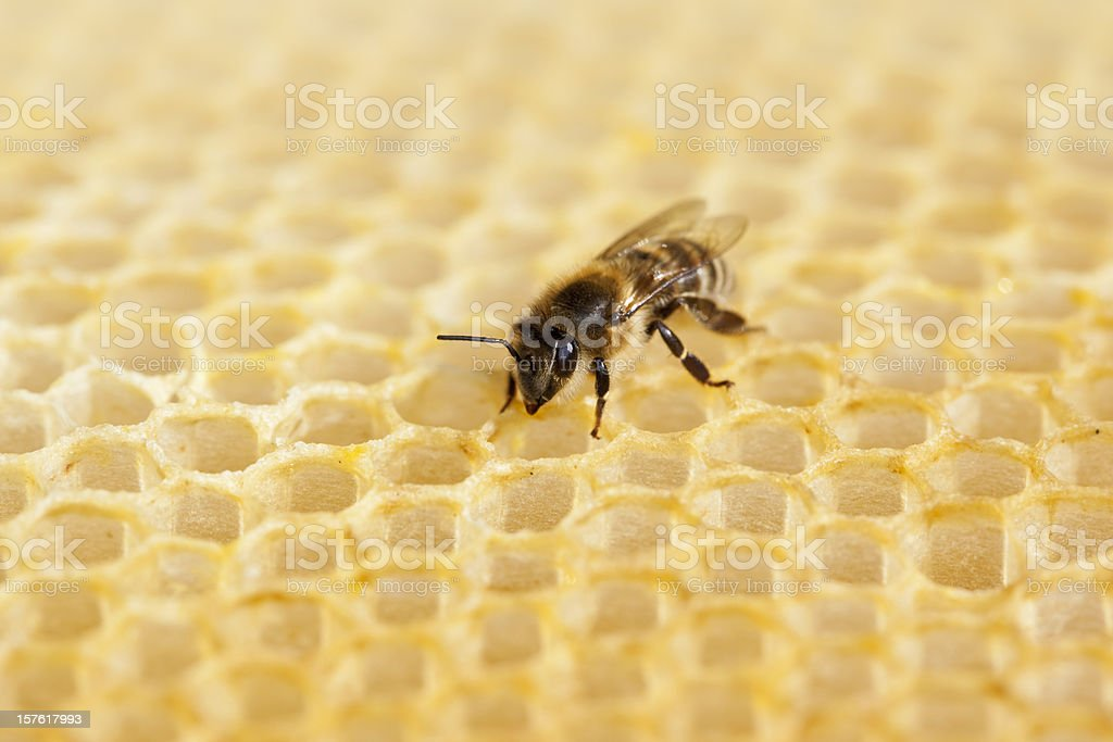 Bee working on honeycomb royalty-free stock photo