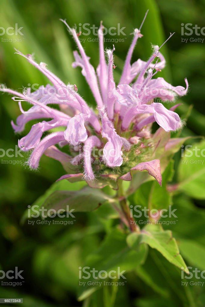 Beebalm (Bergamot) stock photo