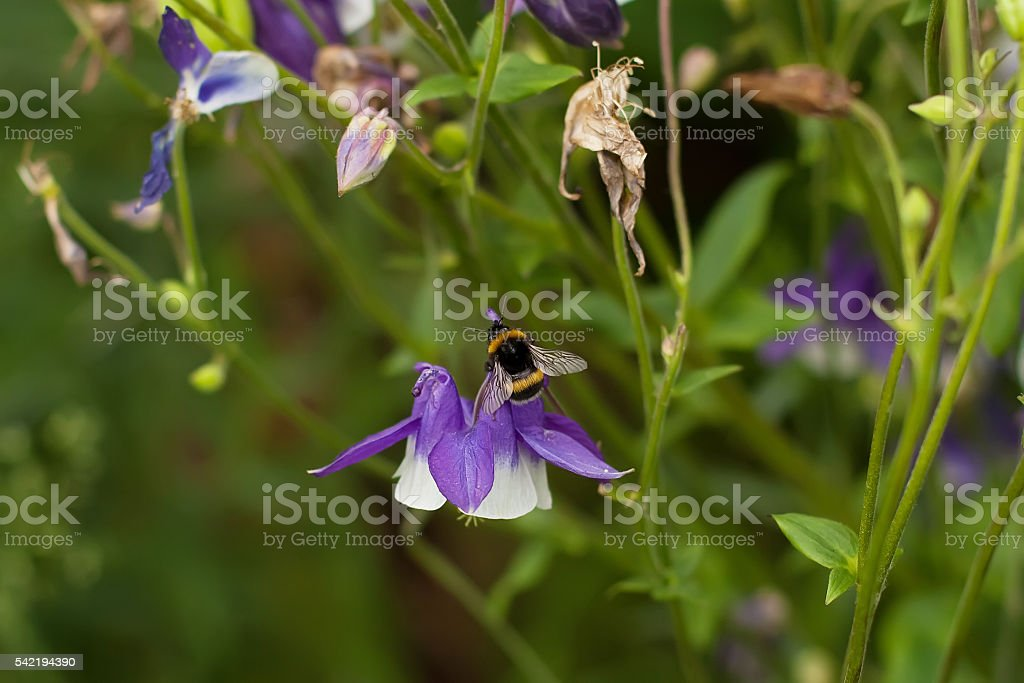 bee,bumblebee in the bluebells stock photo