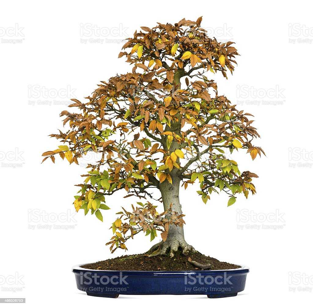 Beech bonsai tree, Fagus, isolated on white stock photo