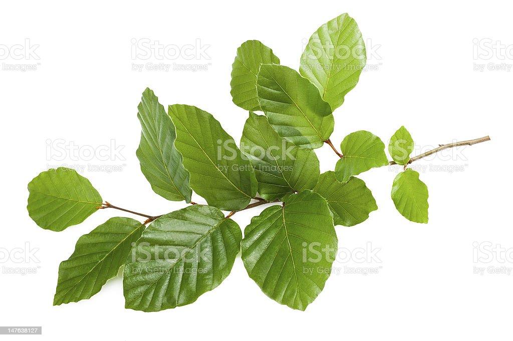 beech branch royalty-free stock photo