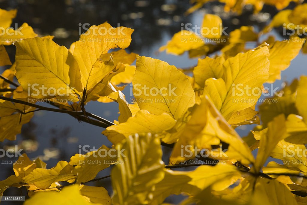 Beech branch royalty-free stock photo