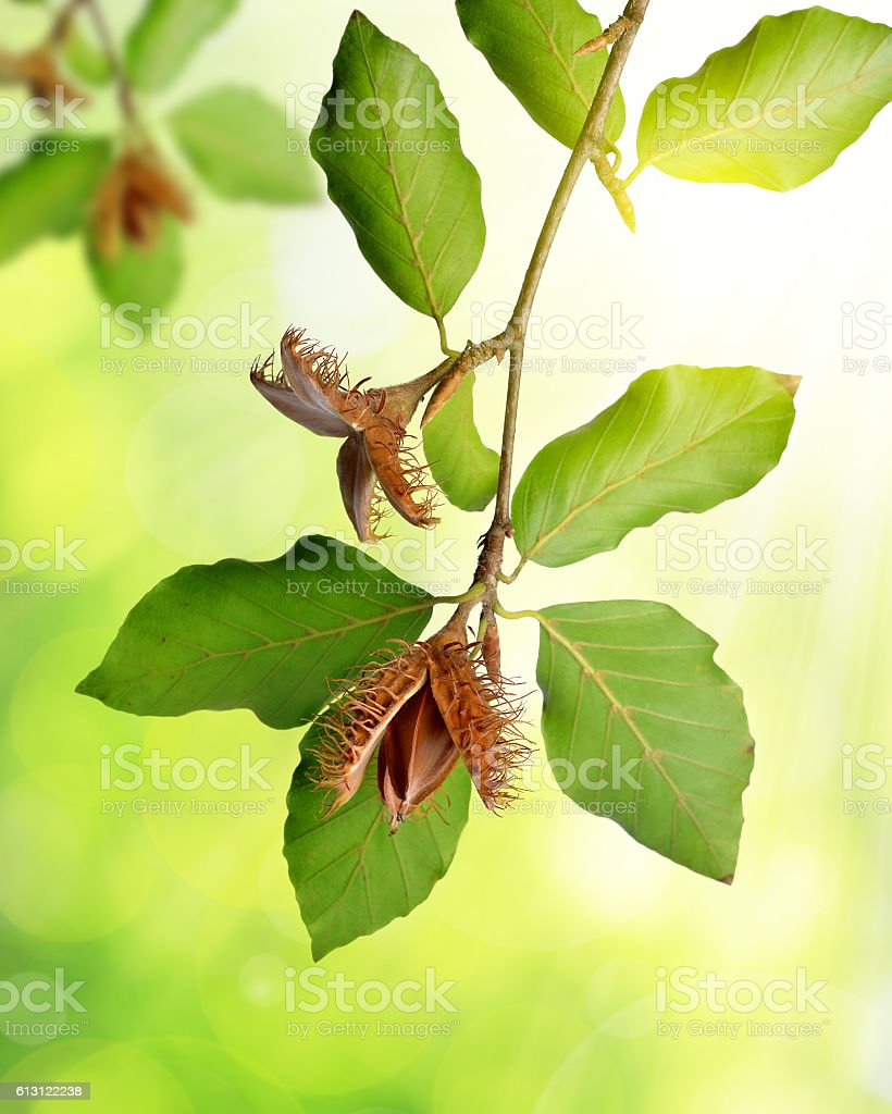 Beech branch with beechnuts stock photo