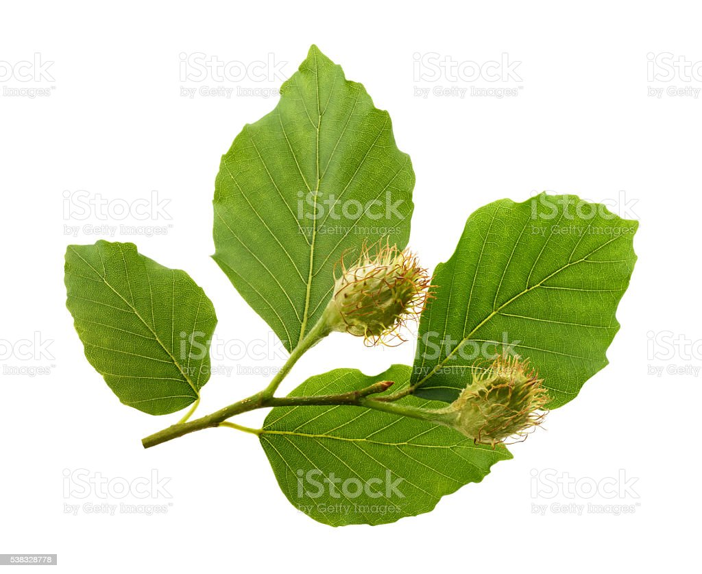 Beech branch with leaves and fruits stock photo