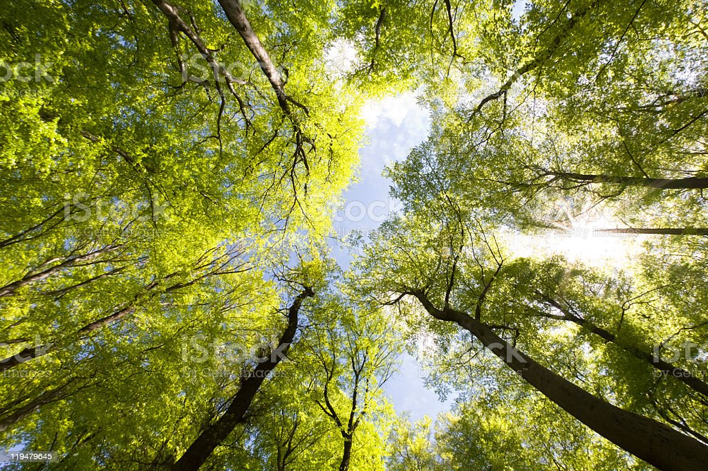 Beech forest and blue clear sky bottom view stock photo