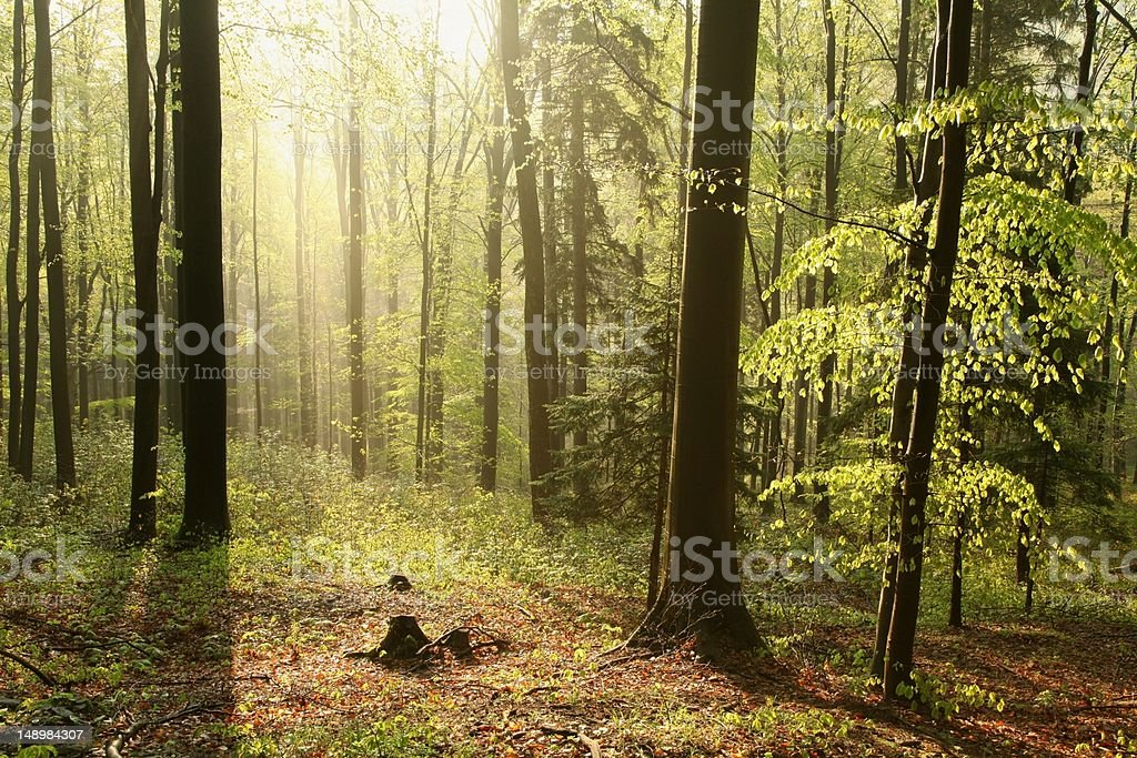 Beech forest at dawn royalty-free stock photo