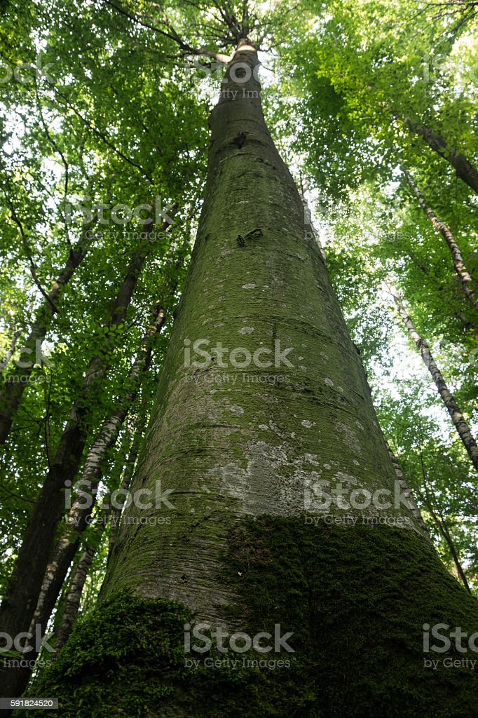 Beech forest at sunset stock photo