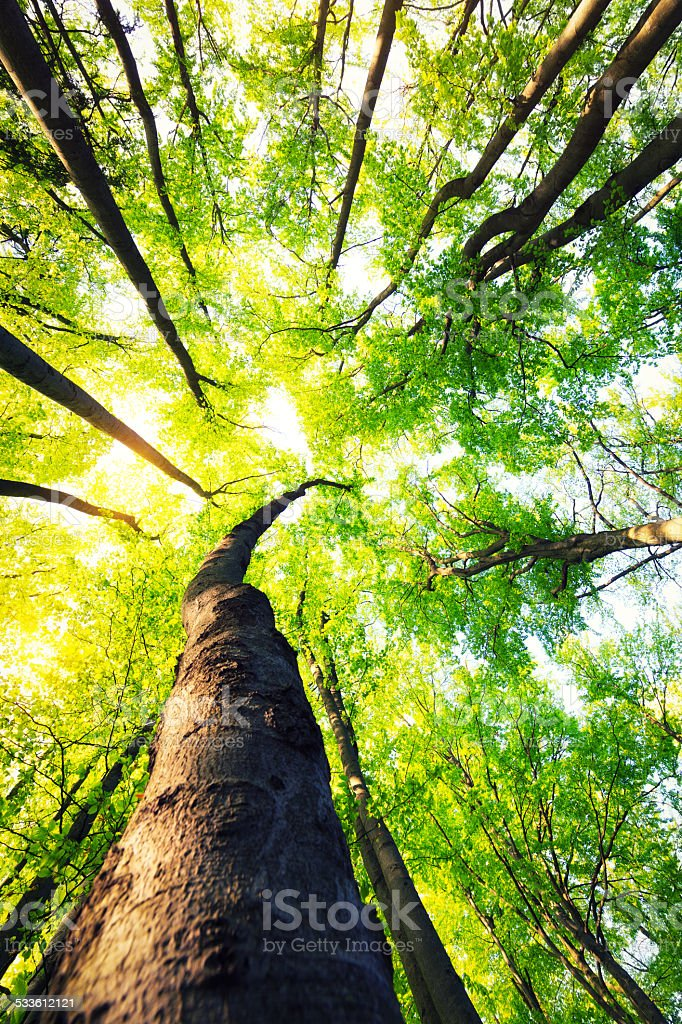 Beech Forest From Below stock photo