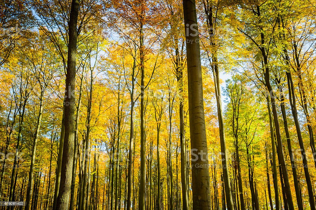 Beech forest in autumn. stock photo