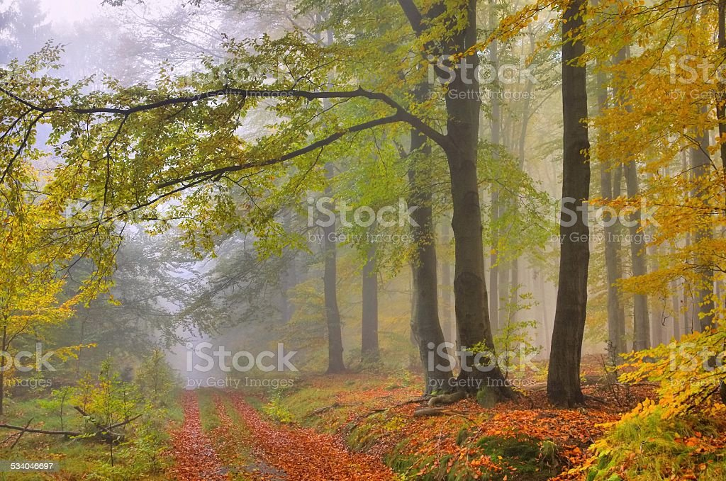 beech forest in fog stock photo
