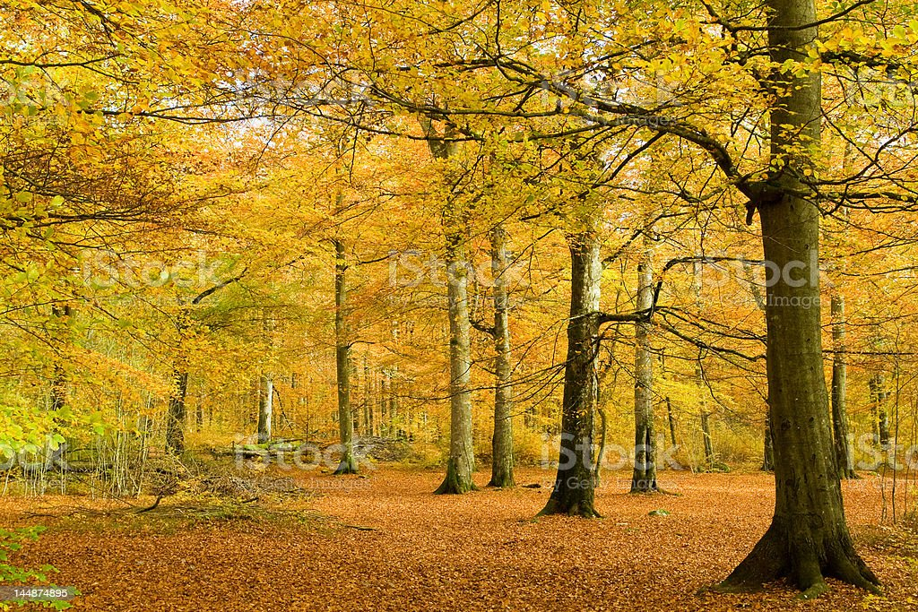 Beech forest in golden foliage royalty-free stock photo