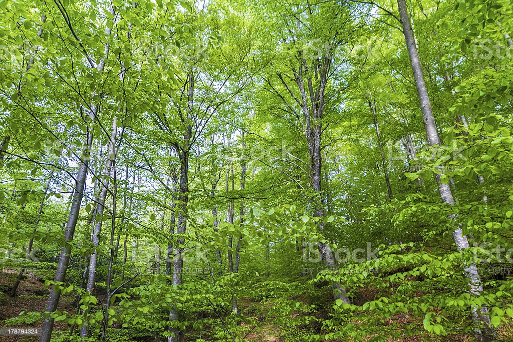 Beech forest in Italy royalty-free stock photo