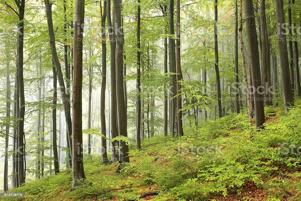 Beech forest in misty weather stock photo