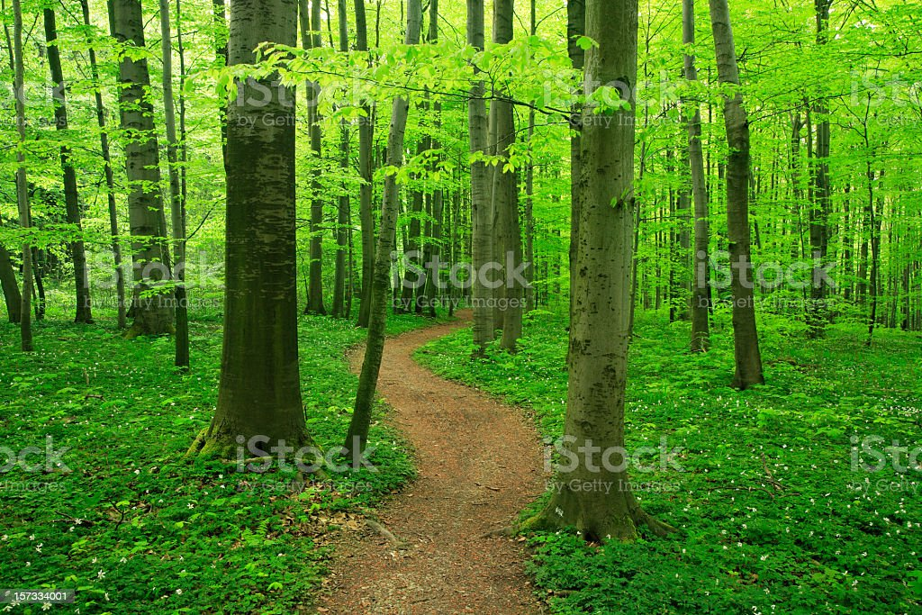 Beech Forest in Spring stock photo