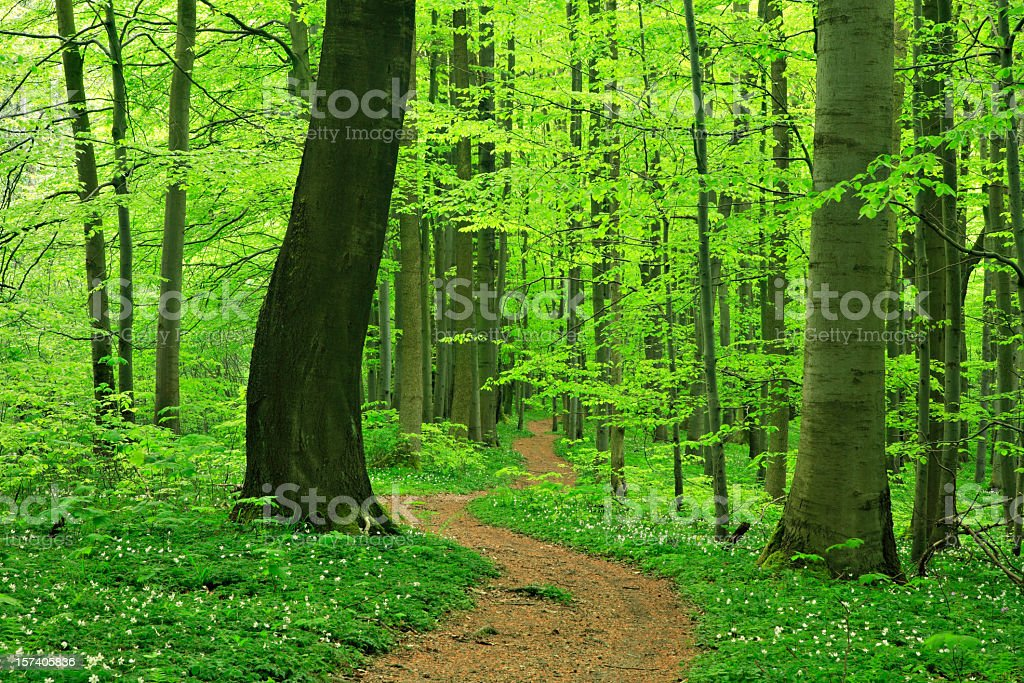 Beech Forest in Spring royalty-free stock photo
