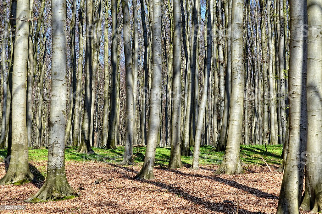 Beech forest in springtime with woodanemone on ground. stock photo