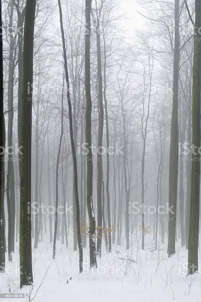 Beech Forest in Winter royalty-free stock photo