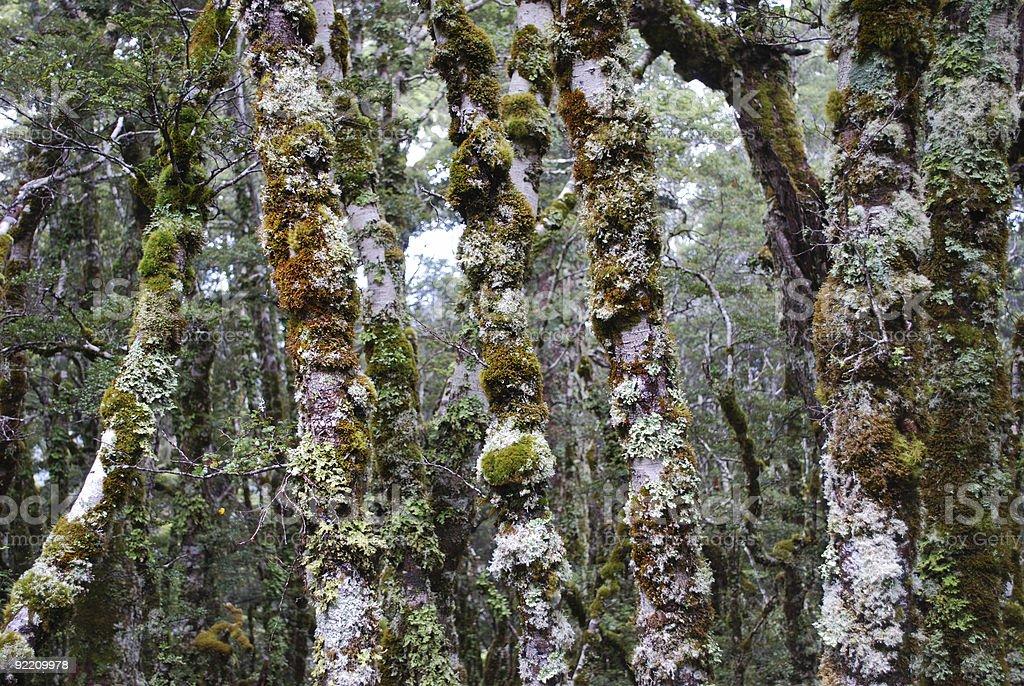 Beech Forest, Kahurangi National Park royalty-free stock photo