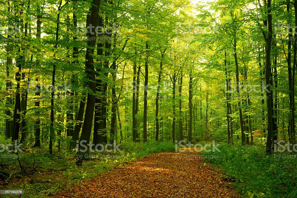 Beech Forest royalty-free stock photo