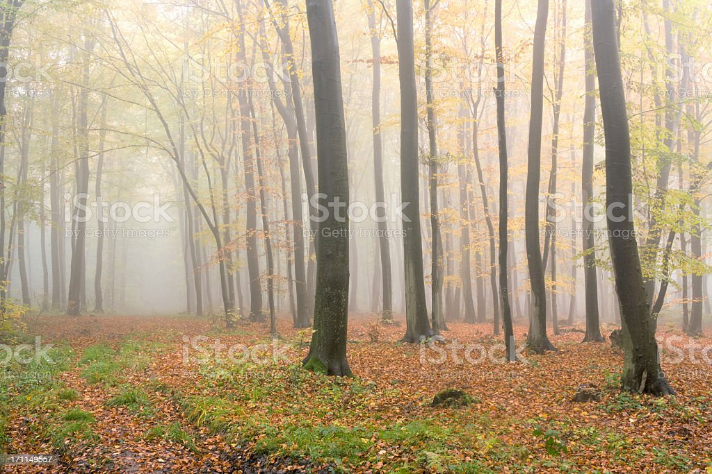 Beech forest. royalty-free stock photo