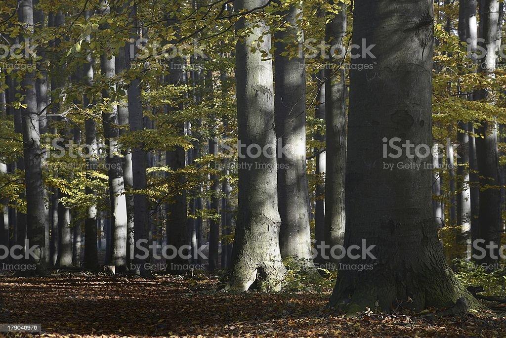 Bosque de Beech foto de stock libre de derechos