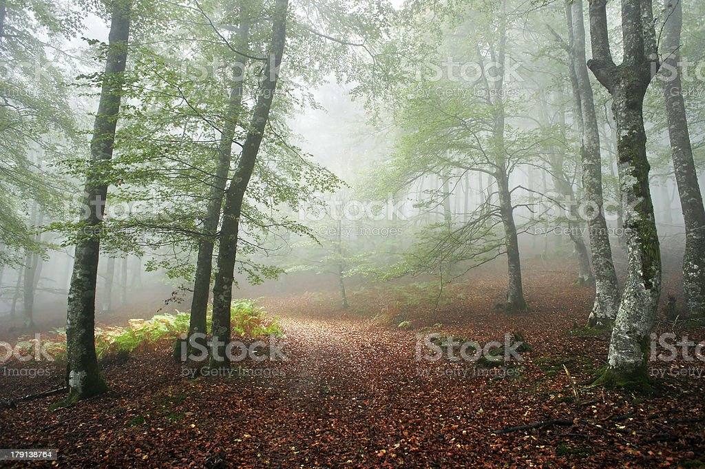 beech forest with fog in the morning royalty-free stock photo