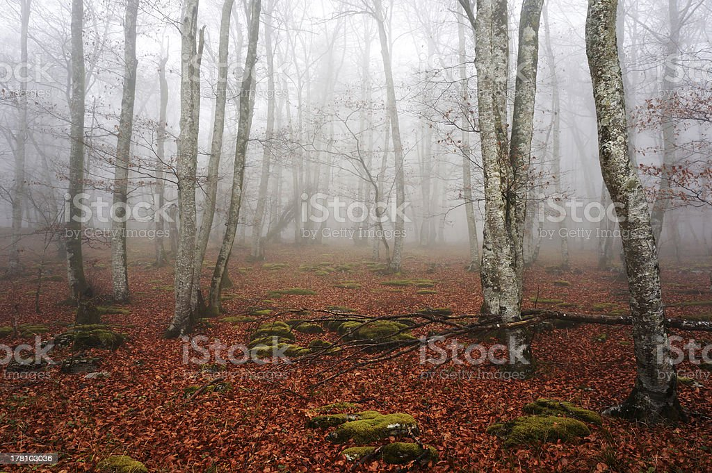 Beech forest with fog royalty-free stock photo