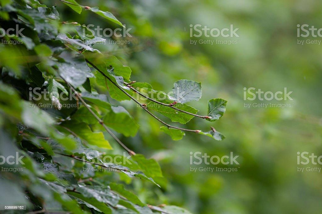 Beech hedge macro shot stock photo