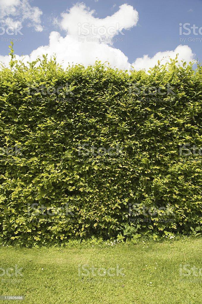 beech hedge royalty-free stock photo