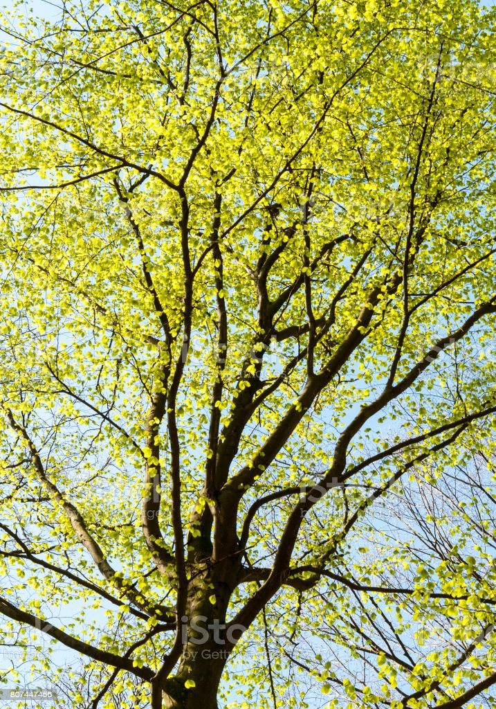 Beech in spring stock photo