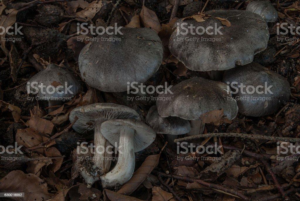 Beech Knight mushroom in the Danish beech forest stock photo
