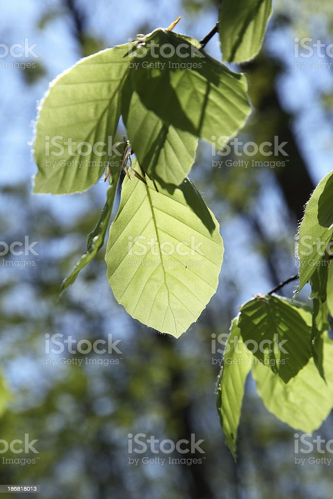 Beech leaf brightly backlit royalty-free stock photo