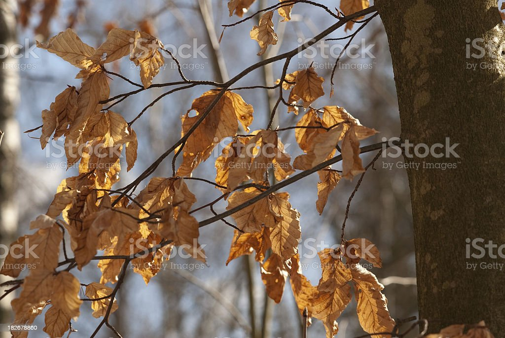 Beech leaf in early spring sunlight royalty-free stock photo