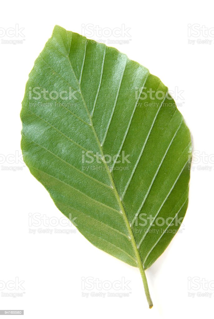 Beech leaf, underside stock photo