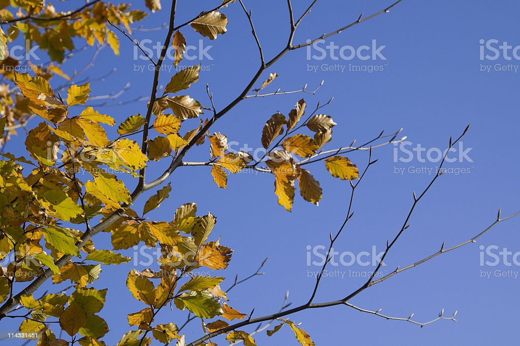 beech leafs in autumn royalty-free stock photo
