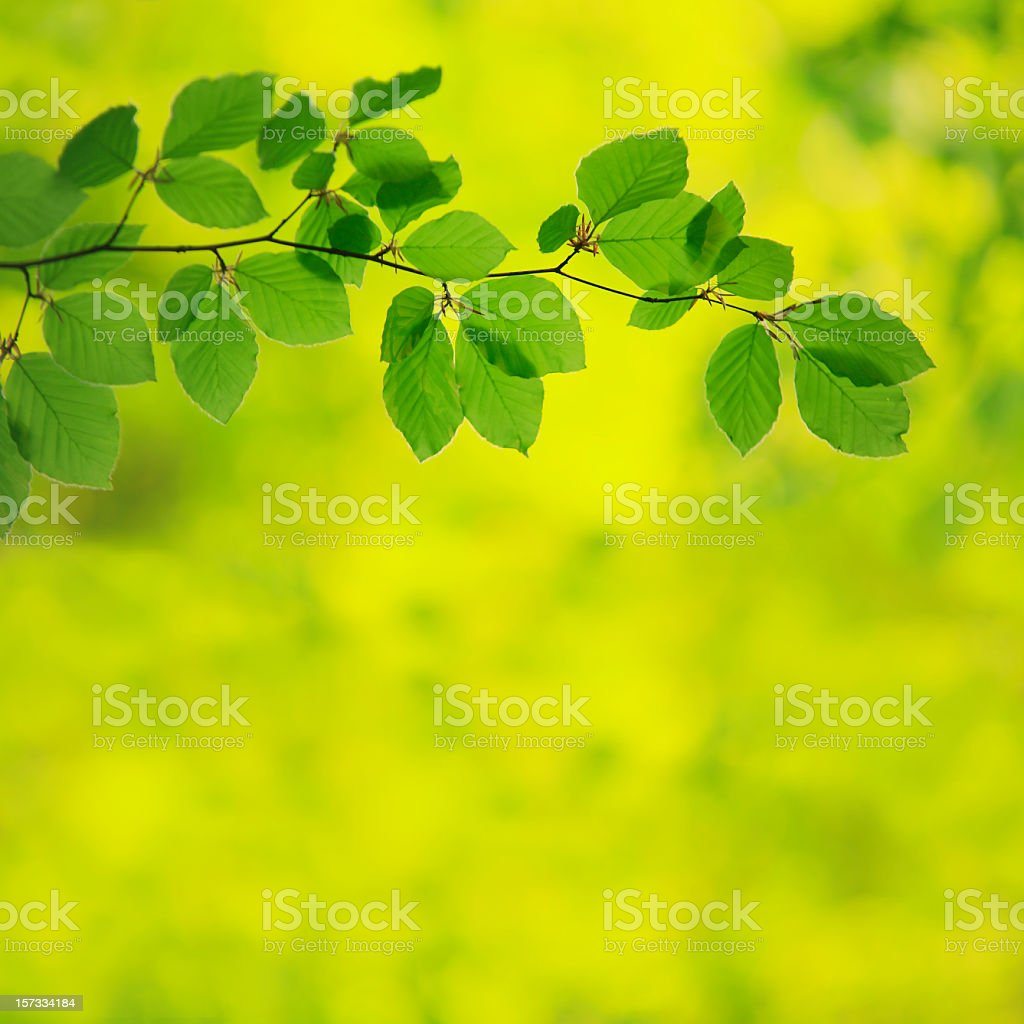 Beech Leafs in Spring royalty-free stock photo