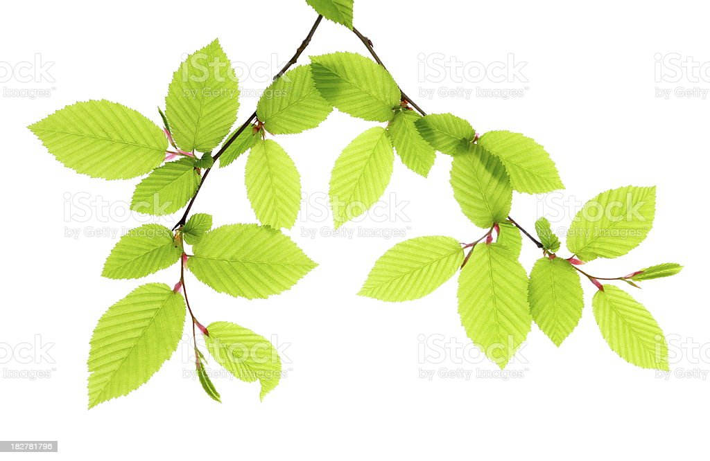 Beech Leafs Isolated stock photo