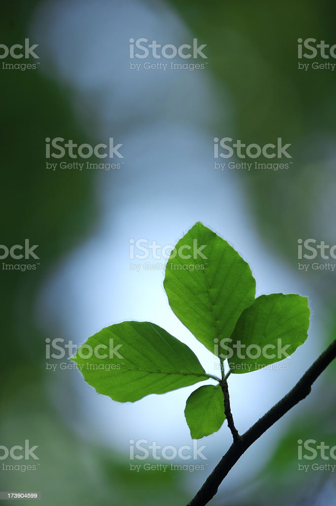 Beech leaves backlit stock photo