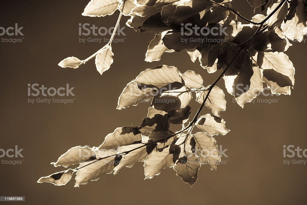 Beech Leaves Closeup, Sepia Toned royalty-free stock photo