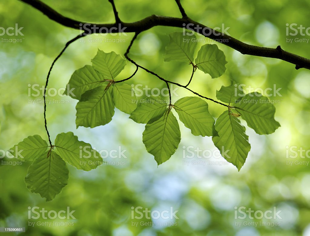 beech leaves composition royalty-free stock photo