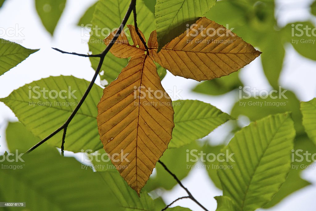 Beech leaves in autumn stock photo