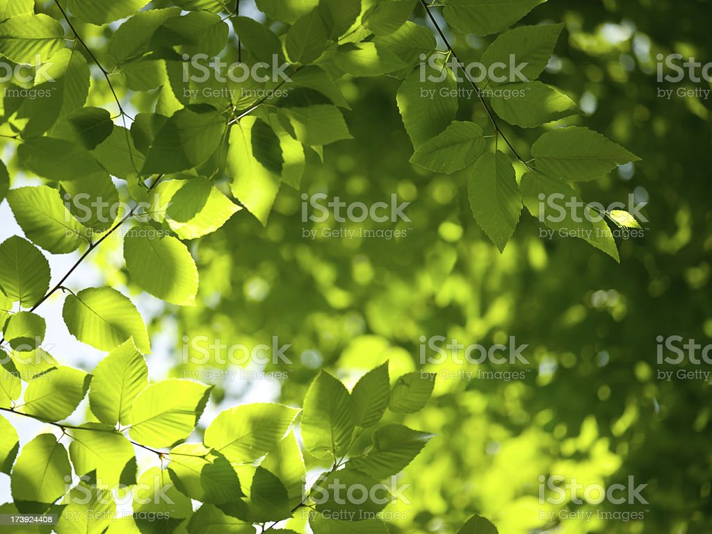 Beech leaves in sunlight royalty-free stock photo