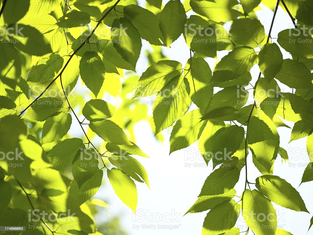 Beech leaves in the sunlight stock photo