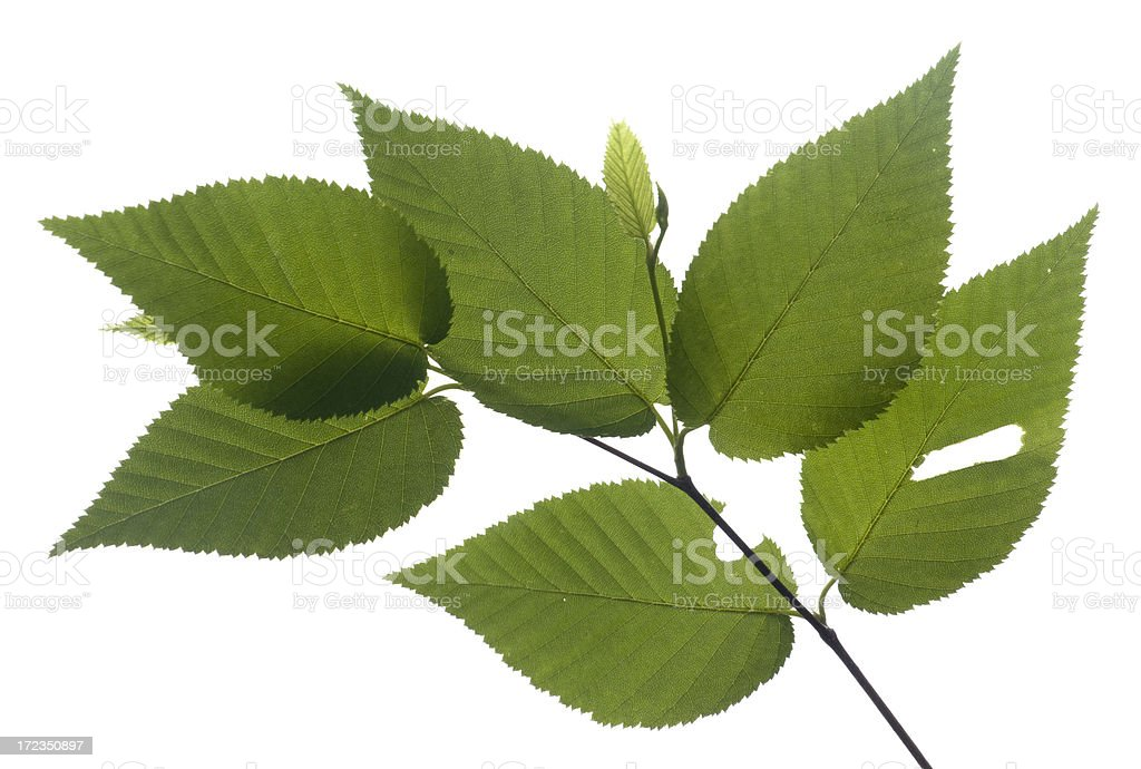 Beech Leaves Isolated on White royalty-free stock photo