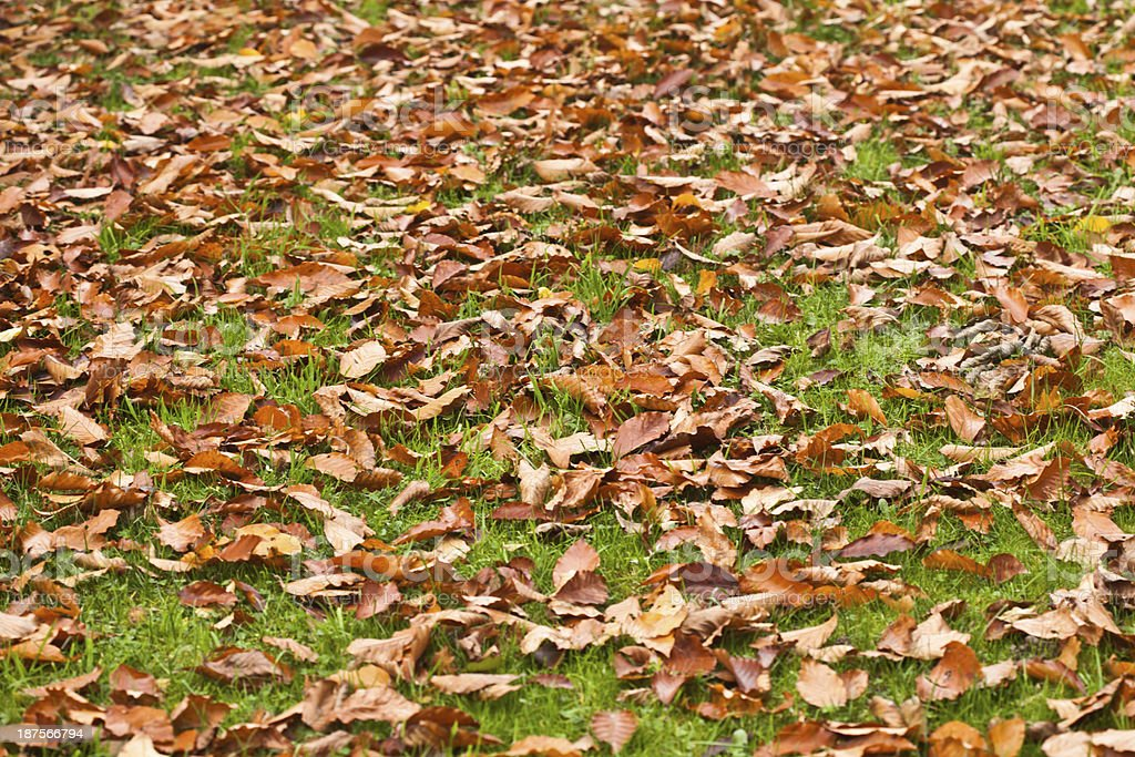 beech leaves on the lawn royalty-free stock photo