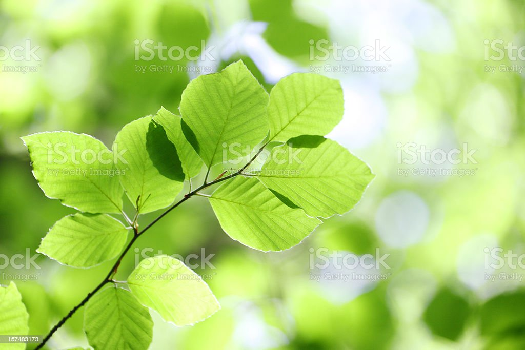 Beech Leaves royalty-free stock photo