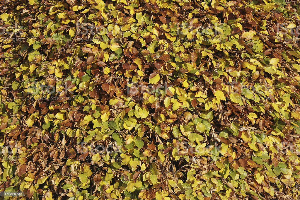 Attractive beech hedge in autumn royalty-free stock photo