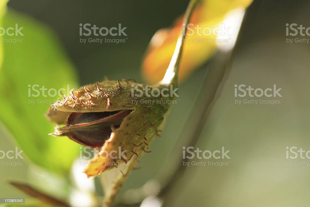 Beech Nut royalty-free stock photo