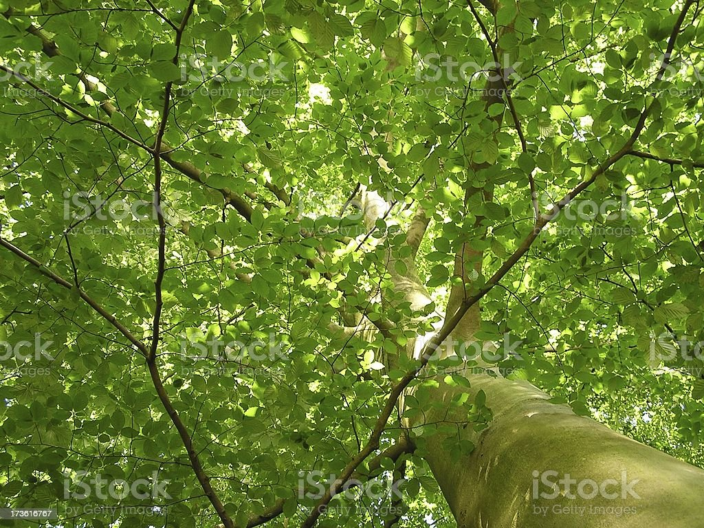 Beech stock photo